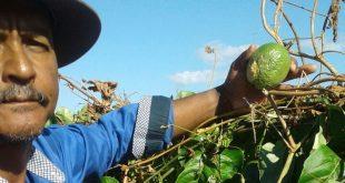 O produtor de maracujá, Gílson de Souza, mostra frutos do maracujá atacados pela fusariose